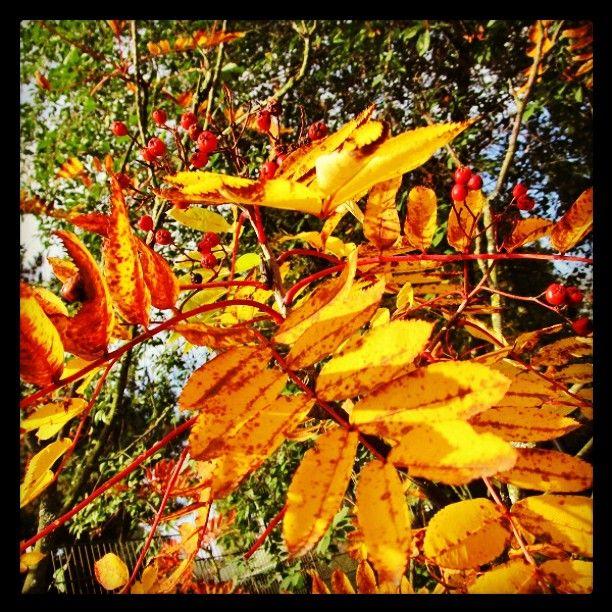 #ruska #pihlaja #keltainen #giallo #autumn  #leaf  #leaves #syksy #lokakuu