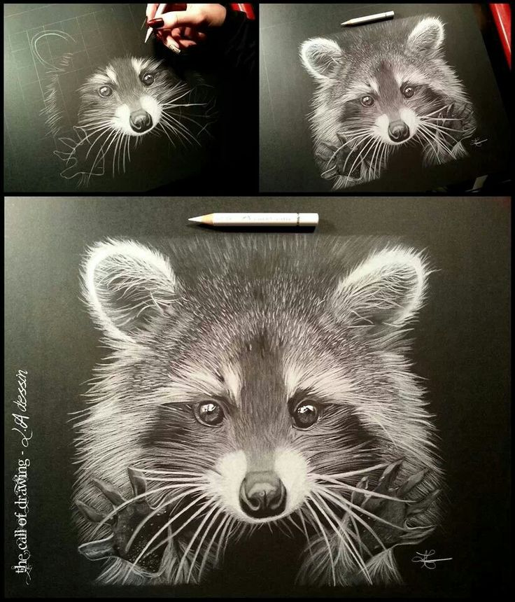 Raccoon - White pencil on black paper