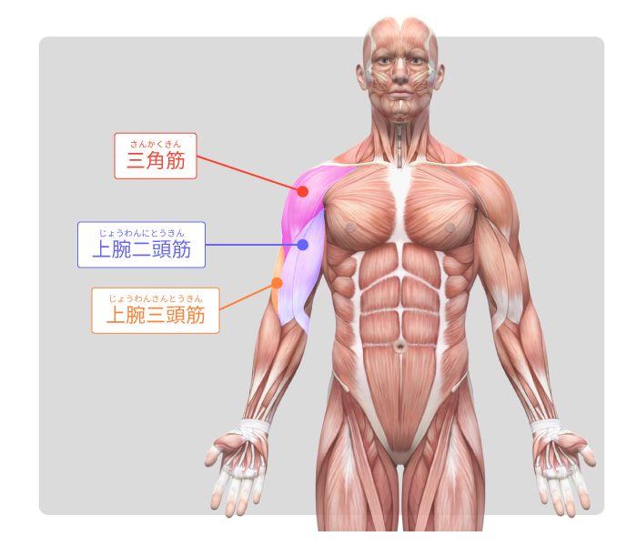 体の筋肉コース 第3回 腕と脚部の筋肉 | sensei by pixiv