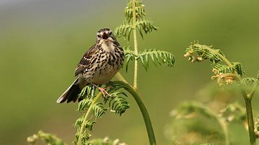Meadow Pipit, Tweet of the Day - BBC Radio 4