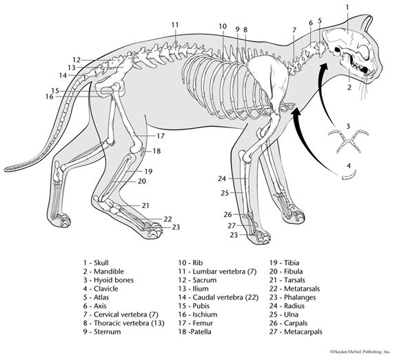 printable cat skeleton