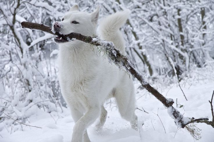 White Siberian Husky, they all love sticks, branches, and trees.....my Ty does this and still a puppy!