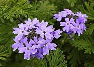 South Texas Wildflowers/ Purple Verbena