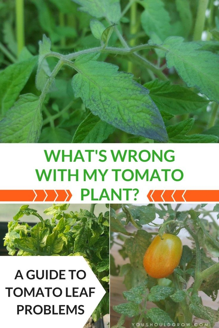 Tomato Leaf Problems A Visual Guide Grow Boxes Pinterest