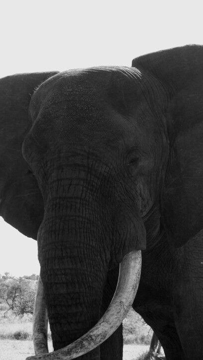 Elephant bull - Hluhluwe game reserve, South Africa