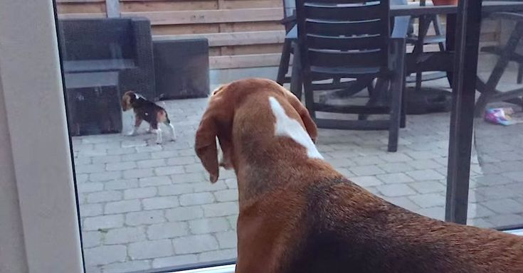 Cute Beagle Meets Little Puppy Sister For The First Time via LittleThings.com