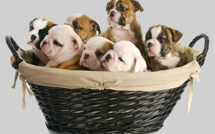basket baby puppy dogs lovely animal Canvas Wall Poster