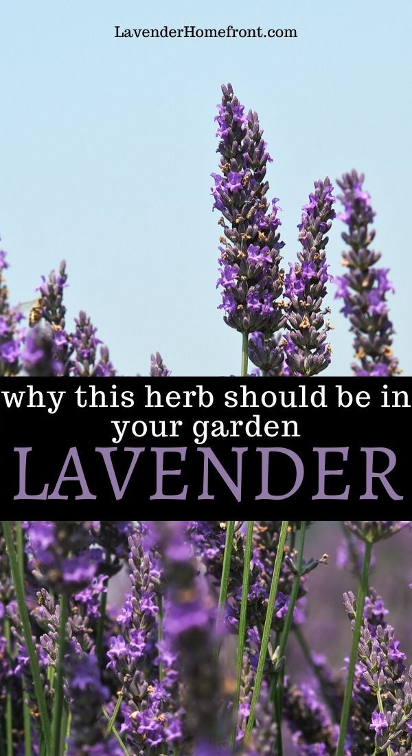 Why You Should Grow Lavender In Your Garden In 2020 Plants Growing Lavender Starting A Garden