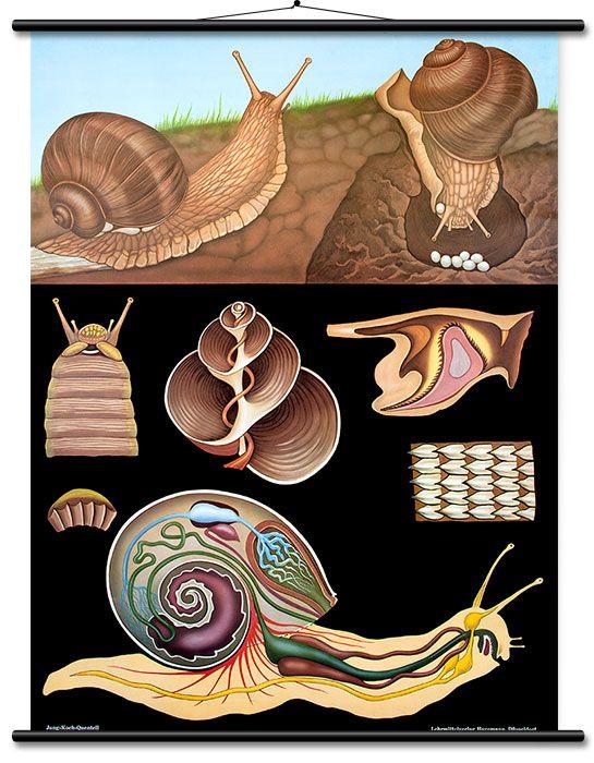 Die Lehrtafel zeigt im oberen Teil das jeweilige Tier in seinem Lebensraum. Darunter sind großflächig und weithin sichtbar auf dunklem Grund wichtige Einzelheiten dargestellt, die zum Erkennen von artspezifischen Eigenheiten und...