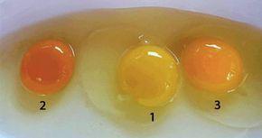 Il colore del tuorlo d'uovo può indicarci molto sulle condizioni di salute della gallina. Spesso [Leggi Tutto...]