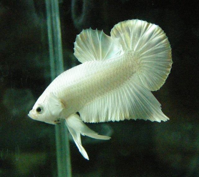 white betta fish pez betta betta fish pinterest