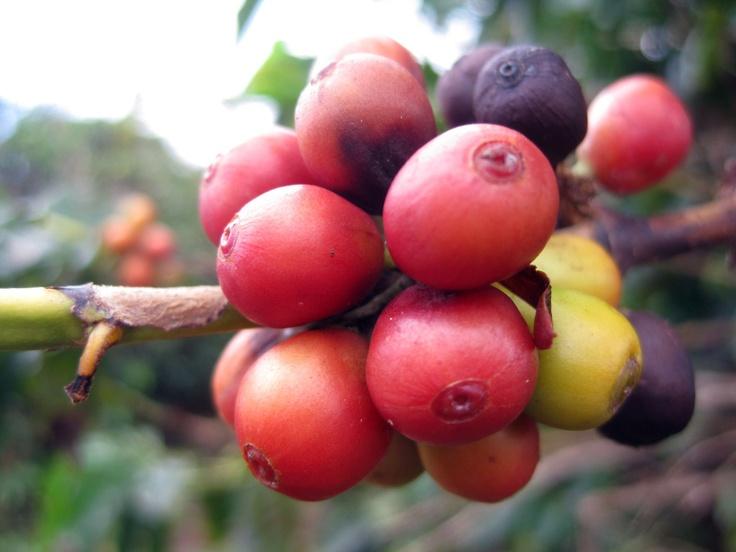 The Color Of Coffee Beans #coffee, #drinks, https://apps.facebook.com/yangutu, #bestofpinterest