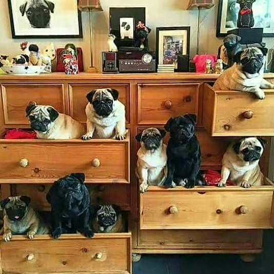 Pugs in the dresser