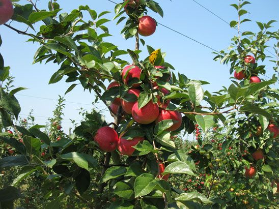 Whittier Fruit Farm, Rochester, New York. Pick Your Own apples, pumpkins, blueberries. Visit upickfarmlocator.com to find more U-Pick Farms near you. #upickapples #gopicking #rochesternewyork