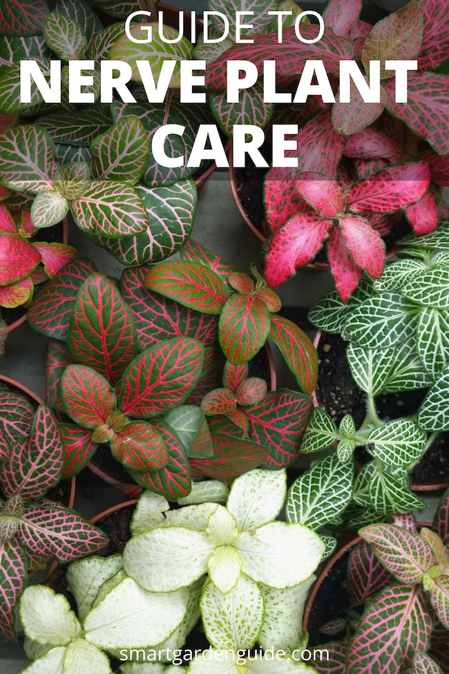 Nerve Plant Care Onia Grow Plants With Ease Top Tips For Growing