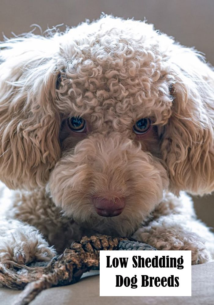 Low Shedding Dog Breeds Pooch'n Cat List and Grooming