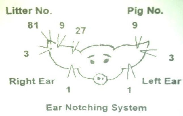 ear notching system for pigs kearny koyotes 4 h pinterest animals hands and need to. Black Bedroom Furniture Sets. Home Design Ideas