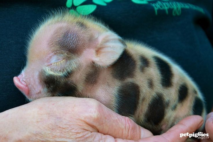 baby-mini-pig-petpiggies