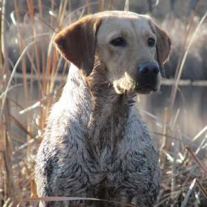 hunting Chocolate Labrador Retriever | ... Group Of Endorsed AKC Black Lab, Yellow Lab & Chocolate Lab Breeders