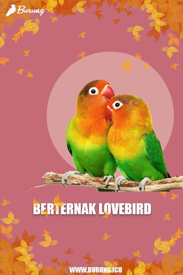 Ternak Lovebird 2020 Di 2020 Burung Lucu Peternakan