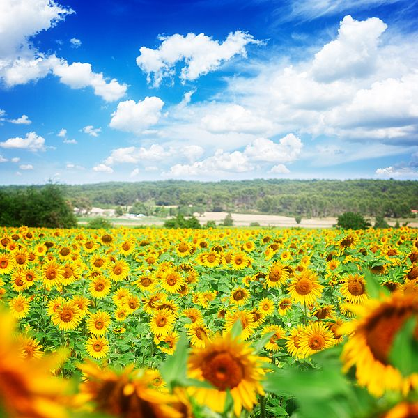Field of sunflowers at bright summer day with blue sky by Anastasy Yarmolovich Field of sunflowers at bright summer day with blue sky by Anastasy Yarmolovich #AnastasyYarmolovichFineArtPhotography  #ArtForHome #France