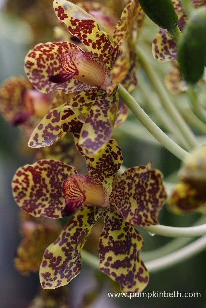 Grammatophyllum speciosum, also known as the Queen of  Orchids, this is the largest orchid in the world, it's flowering now at The Royal Botanic Gardens, Kew.