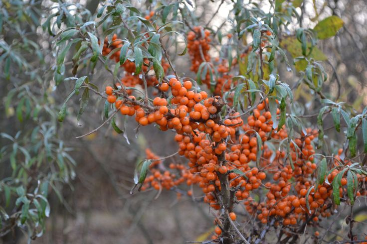 119 best images about hippophae on pinterest - Growing sea buckthorn ...