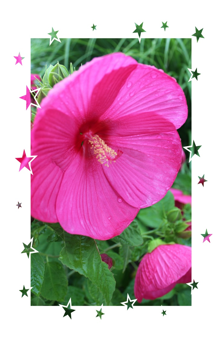 78 best hibiscus flowers images on pinterest hibiscus flowers hibiscus flower izmirmasajfo Gallery
