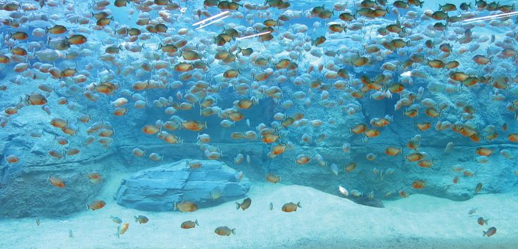 Face-to-face with piranhas. Visitors at aquariums and zoos want to observe animals up close and personal. Transparent PLEXIGLAS® panels make this possible.  http://www.world-of-plexiglas.com/en/face-to-face-with-piranhas/ #Aquarium #MarineAquarium #Fish #minimalism #architecture #reef #urbanexploration #piranhas #underwater #ocean #evonik #originalplexiglas #evonikplexiglas #acrylite #sea #water #blue #deepblue