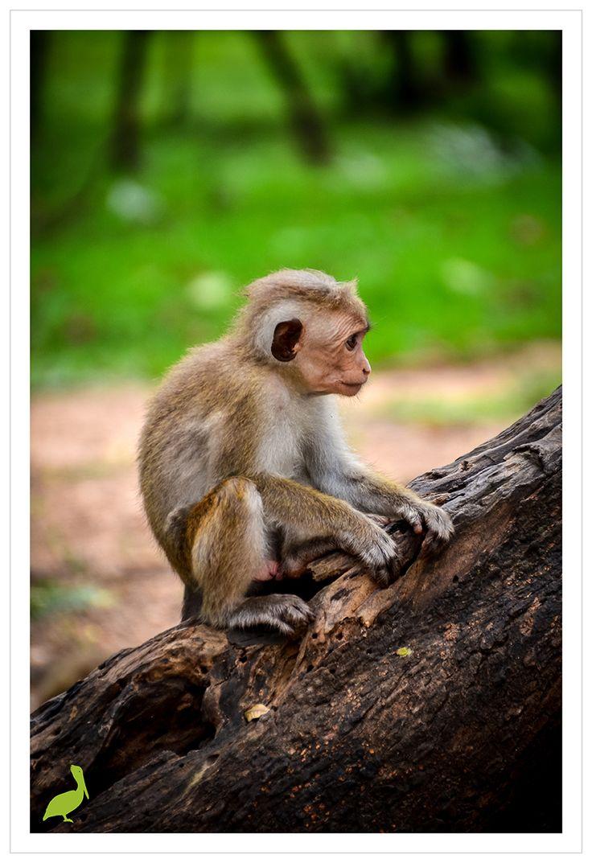 Baby monkey in Sri Lanka www.lenesphotos.de cute