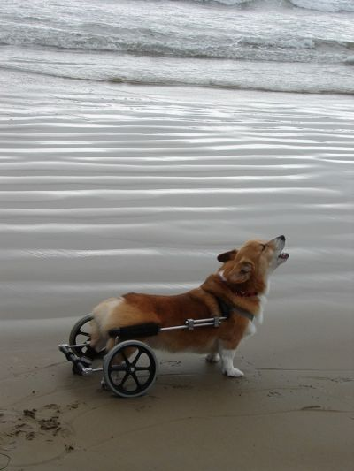 Corgi borg. Makes me really happy when I see otherwise disabled pups aided by people (and technology) to have the mobility they need.