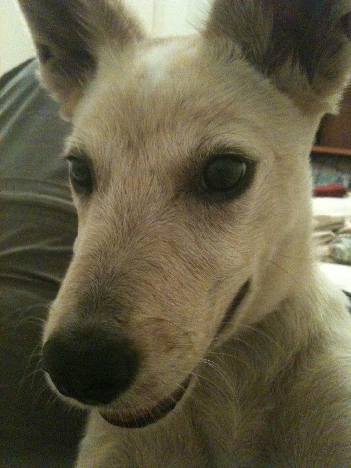Pound Dogs For Sale Brisbane