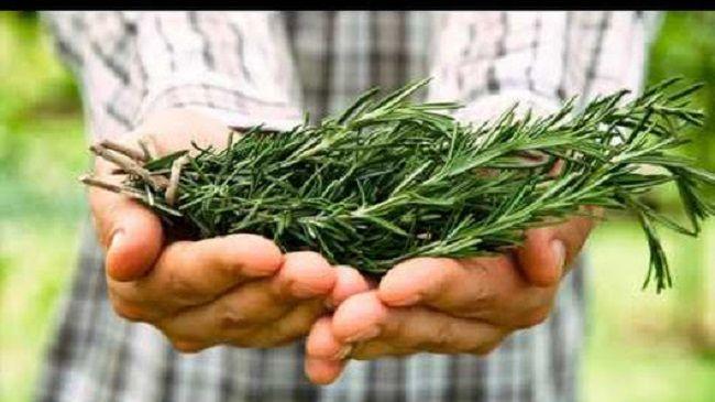 Узнайте, почему это растение необходимо употреблять всем!  Розмарин является очень популярным растением.  Розмарин обычно используется для приготовления различных блюд, благодаря своему уникальному и приятному запаху.  Однако это не все преимущества розмарина, он таит в себе и целебную силу!  Узнайт