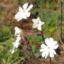 silene latifolia - Google Search
