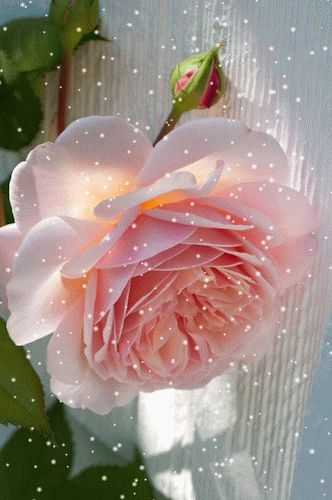 GIF...Click on and see the magic Rose Dreams. ..