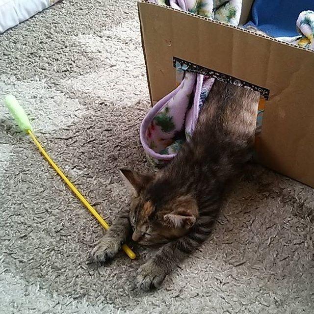 ☆むぎ日記 ☆遊びながら寝た… ☆器用なヤツ…(;・ω・) #愛猫#ネコ#猫#ねこ#にゃーにゃー#にゃんこ生活 #仔猫#遊びながら#寝る#寝た#眠い#器用#ヤツ#ねこじゃらし #cat #catlife #cutcat #lovelycat #kitty #kitten #sleeping #sleepy