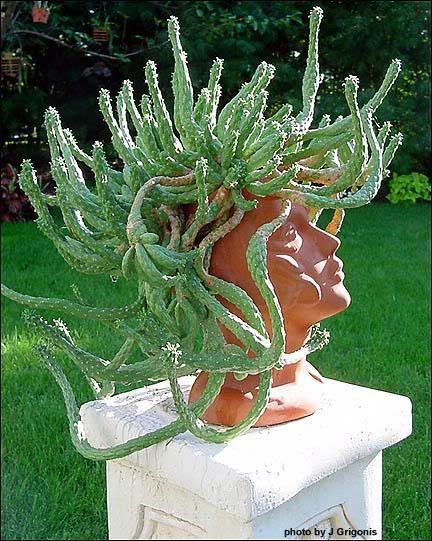 "Medusa's Head Euphorbia - perfect in a ""head"" planter! LOL"