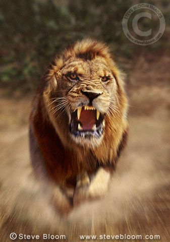 Best My Dream Images On Pinterest Lion Quotes Queen And - Photographer captures angry lion before attack