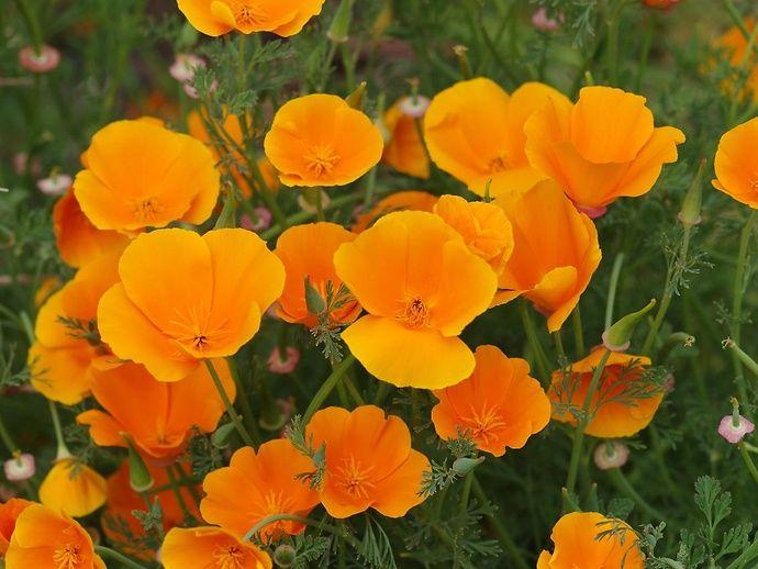 Schlafmützchen oder Kalifornischer Mohn (Eschscholzia californica) - Giftpflanze…
