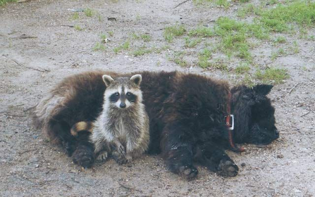 animals raccoons weasels friends - photo #38