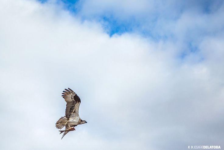 Eagle taking flight  #josafatdelatoba #cabophotographer #bajacaliforniasur #Eagle