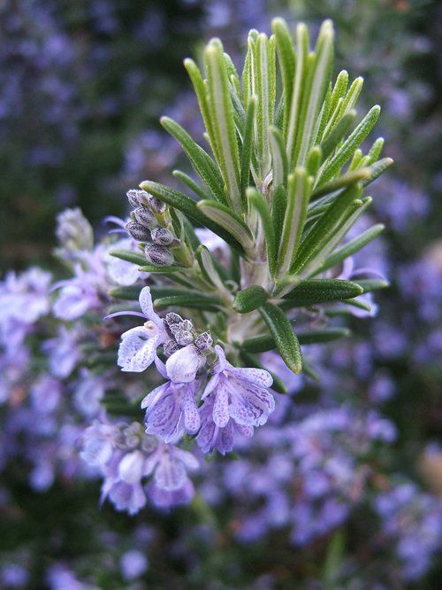Rosemary - the easiest herb to grow in the South and my absolute favorite!  The smell is intoxicating and rosemary bread and rosemary roasted new potatoes are divine!