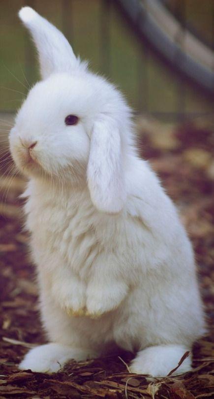 Floppy eared bunny