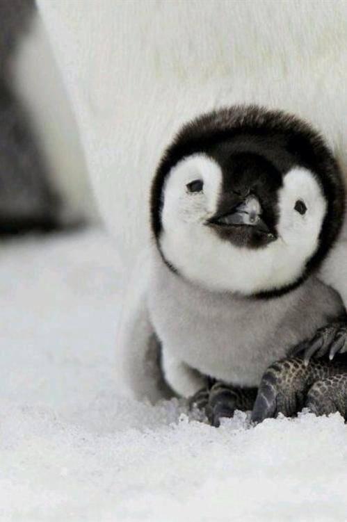 Bebé pingüino :)