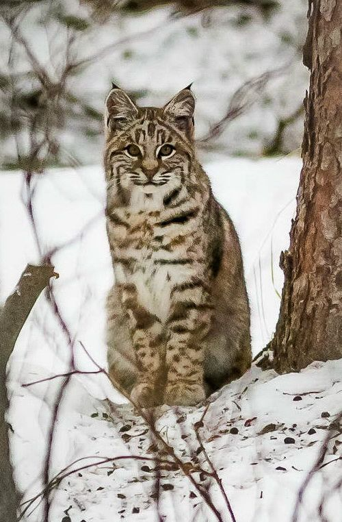 38 best images about Bobcats on Pinterest
