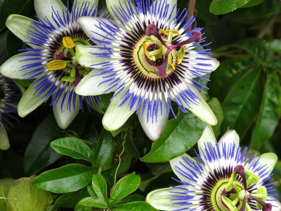 Blue Passion Flower 5 Seeds Passiflora Caerulea Etsy Blue Passion Flower Passion Flower Passiflora Caerulea