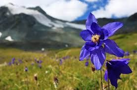 Image result for Flowers of the Indian Himalayas
