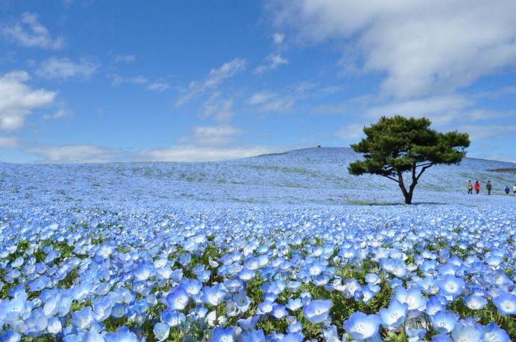 Ibaraki: Hirachi Seaside Park, Nemophila (May) 茨城: ひたち海浜公園 ネモフィラ(5月) #japan #sightseeing
