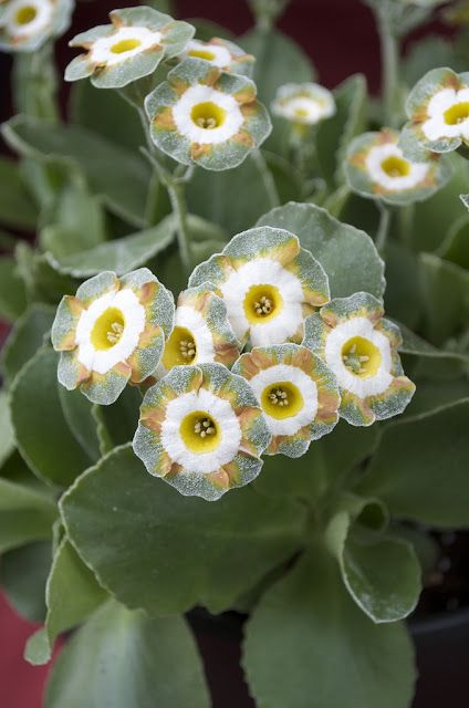 Primula x auricula 'Theodora'. This is one of our introductions and won a prize at Courson in 2013.