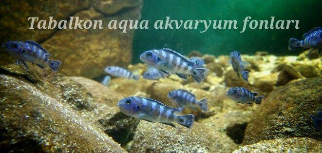Daha doğal ve daha gerçekçi akvaryumlar için Tabalkon aqua 3d akvaryum fonları.... Iletisim. 0 541 476 59 33 Akvaryum,